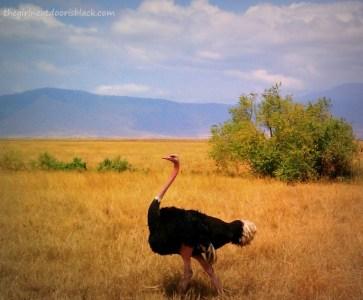 Ostrich Ngorogoro Crater Tanzania Safari | The Girl Next Door is Black
