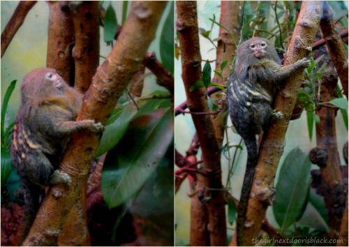 Warsaw Pygmy Marmoset | The Girl Next Door is Black