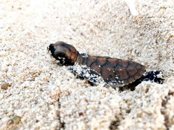 baby-sea-turtle-3