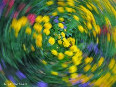 Flower in Motion 1(2)