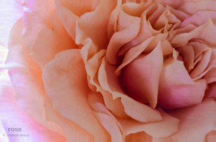 Miniature Rose - 14 images stacked to create one.