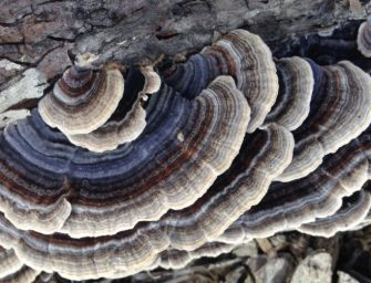 Turkey Tail Mushroom Proven by NIH Study to Fight Breast Cancer