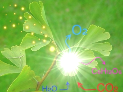 Photosynthesis: Carbon Dioxide + Water + Light ----> Sugar + Oxygen.  O2 = Oxygen; CO2 = Carbon Dioxide; H20 = Water; C6H12O6 = Sugars. Photo Credit: Wikimedia Commons