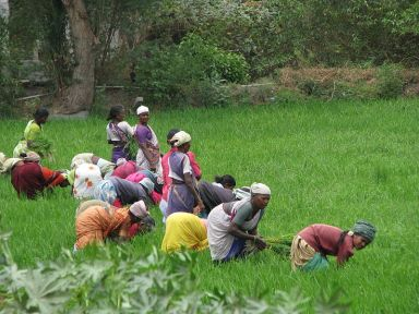 Women harvesting rice paddy in Tamil Nadu, India. Photo Credit: