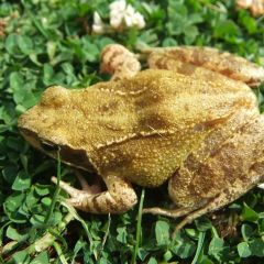 The Great Global Die-Off: Frogs and Lymphocytes