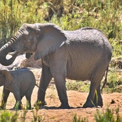 Ivory Poaching Drives the Global Decline of African Elephants