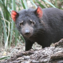 Tasmanian Devils: Contagious Cancer Drives the Risk of Extinction