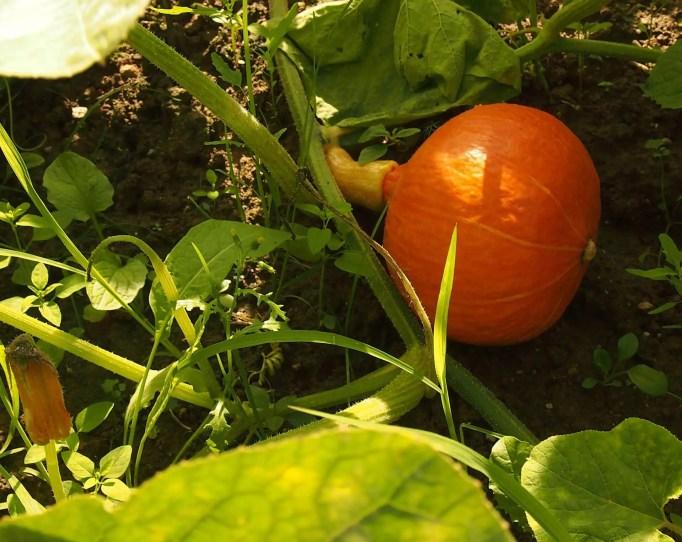 pumpkin companion plants