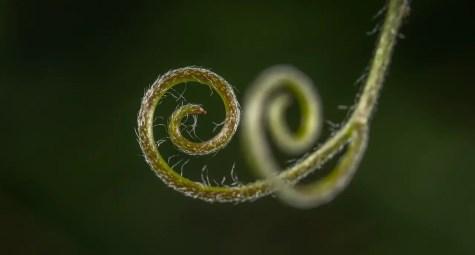 growing pea Tendrils