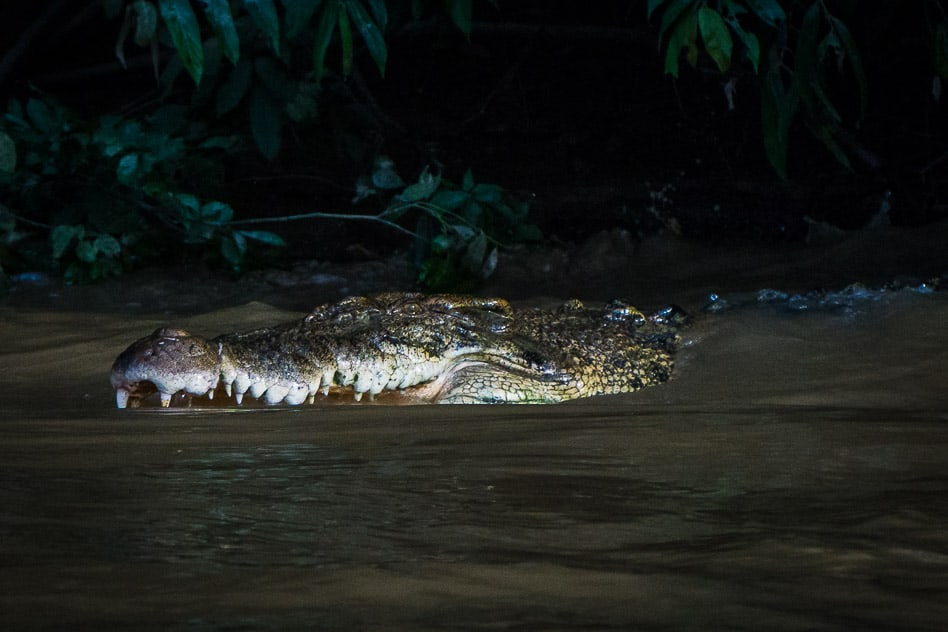 Crocodile Salt Water Borneo Kinabatagnan River