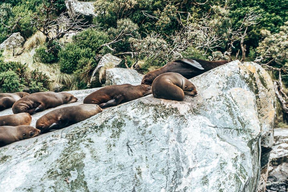 Fur Seals Wildlife Cruise Milford Sound