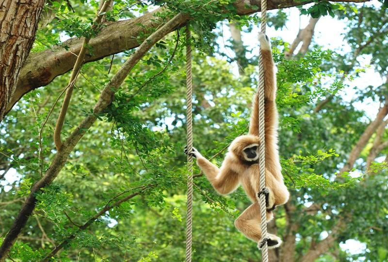 Parc National de Khao Phra Thaeo Thailande gibbon