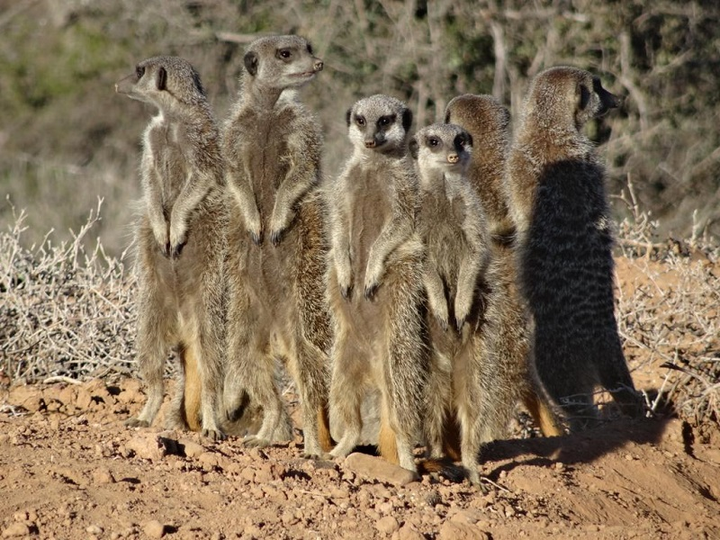 things to do in oudtshoorn meerkats