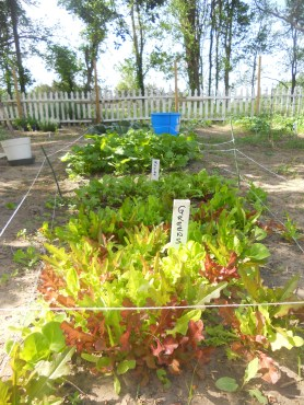 lettuce, beets, radishes & more lettuce tucked under the apple tree. They only get a bit of sun in the morning & evening.