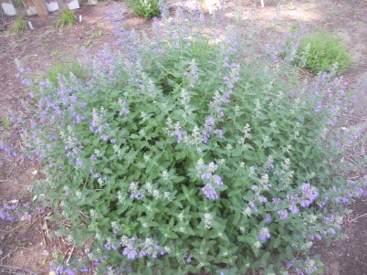 beautiful Catmint in bloom