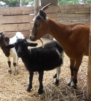 Hershey & her doe kid