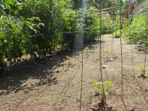 new tomatoes plants from seed - making sure I have tomatoes well into the fall