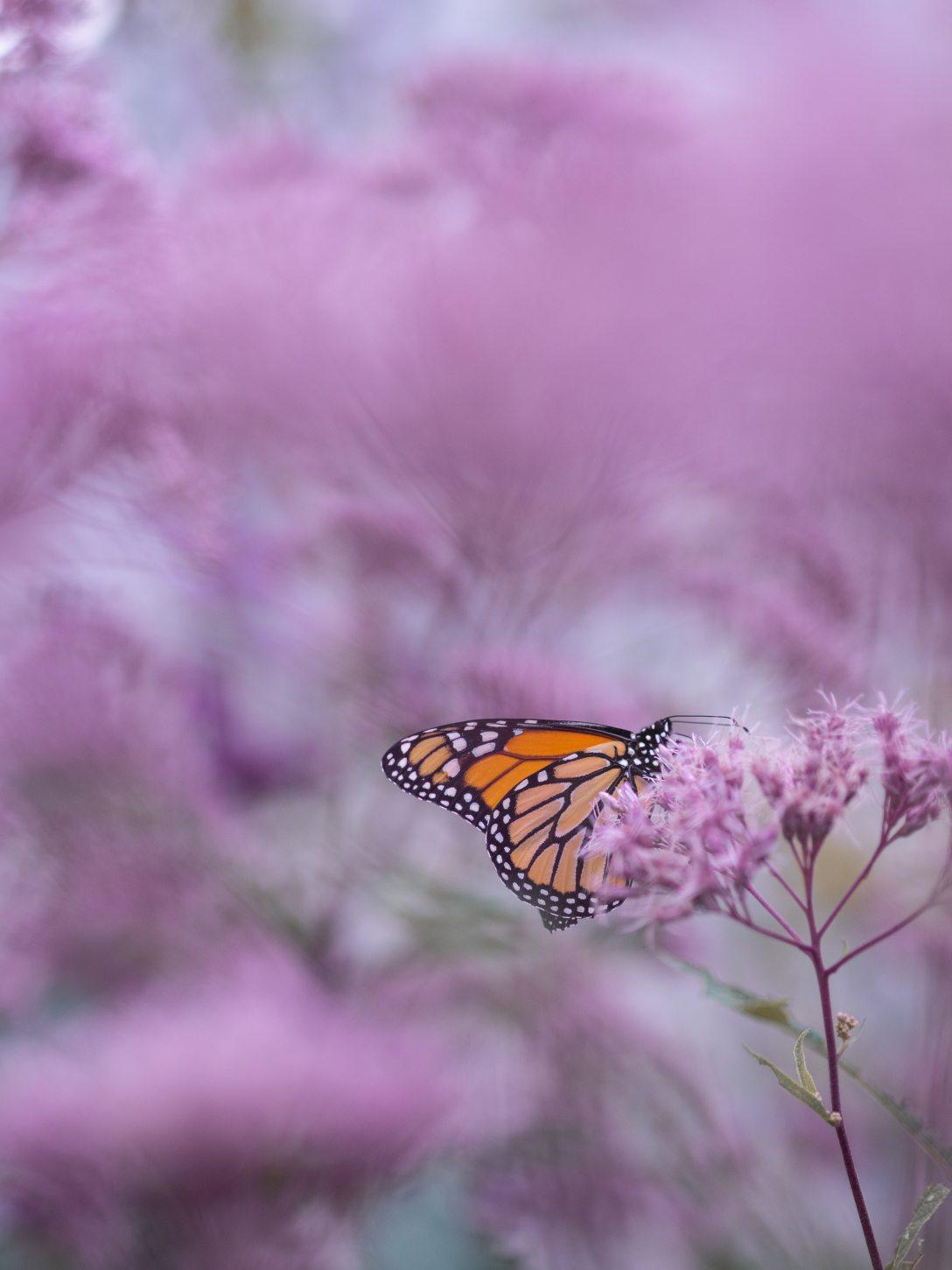 Photo of monarch butterfly with purple flowers by Aaron Burden on Unsplash