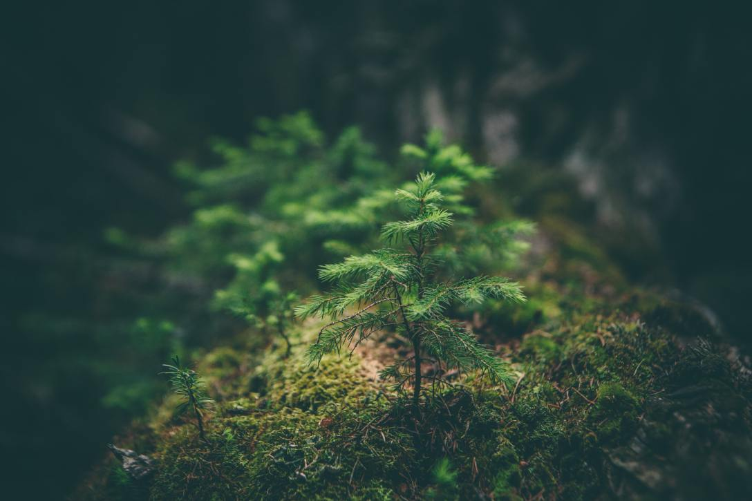 baby pine tree in the woods