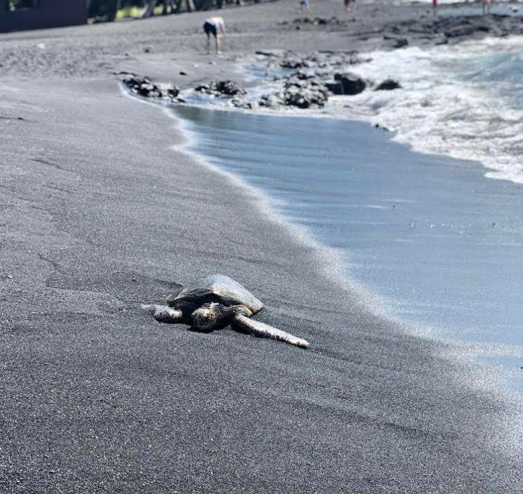 Turtle on black sand beach