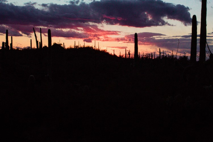 Sunset photo of saguaro cacti from Saguaro National Park at the end of a long road trip