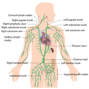 Lymphatic Drainage drains stagnant chemicals and hormones from cells