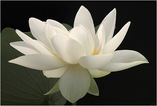 white-lotus-flower-picture