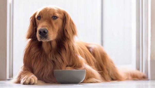 Golden Eating Dog Food