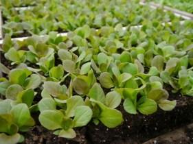Organic lettuce transplants for the garden