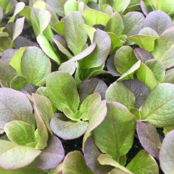 organic lettuce seedlings