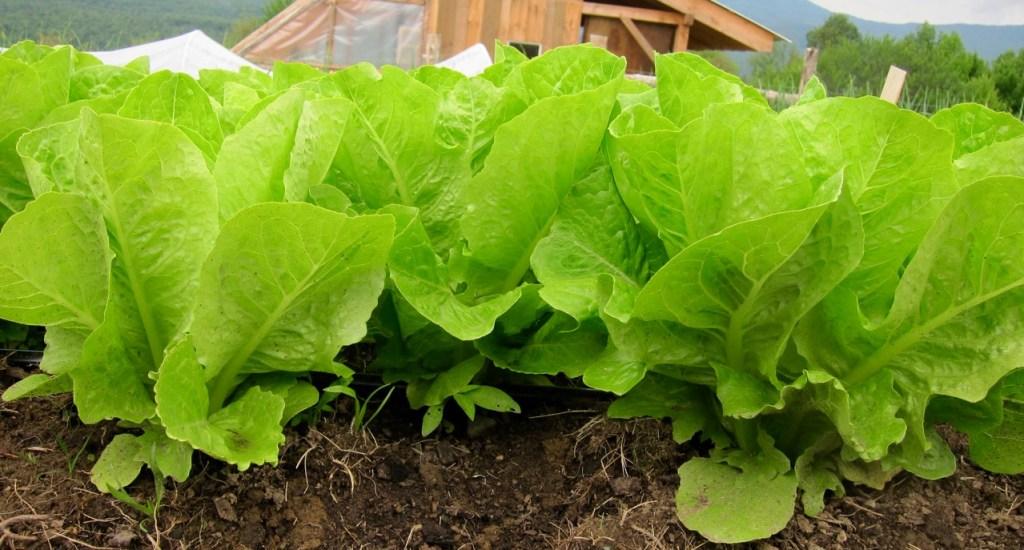 organic Jericho lettuce heads in the field