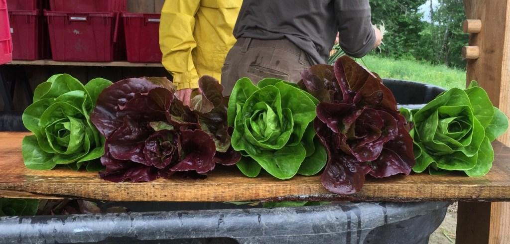 organic mini-romaine lettuce heads