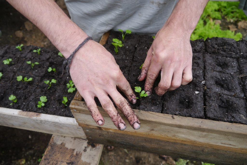 hands in the soil, up-potting organic celery