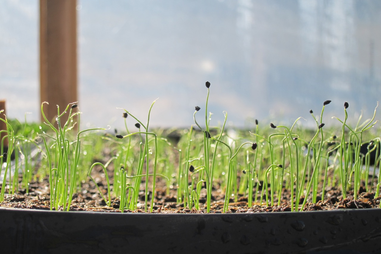 How to grow a seedling hybrid, terry and ordinary catchment