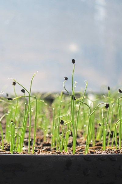 organic onion starts, grown from organic seeds