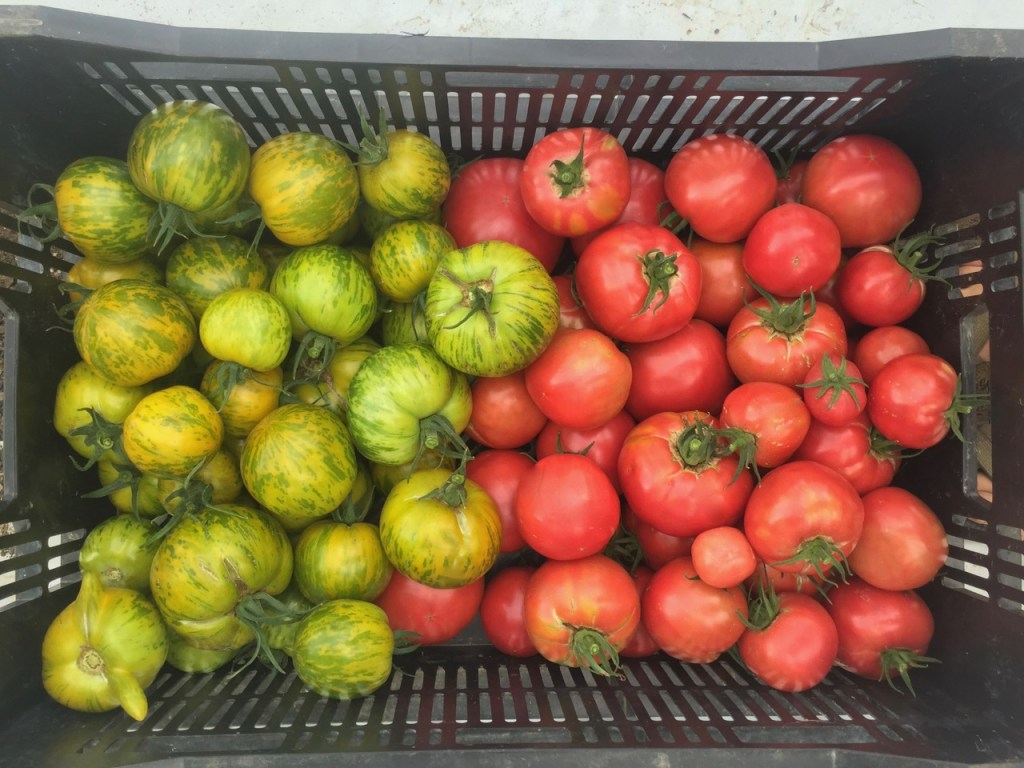 organic green zebra tomatoes and organic rose de berne tomatoes