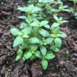 Organic thyme, a perennial herb