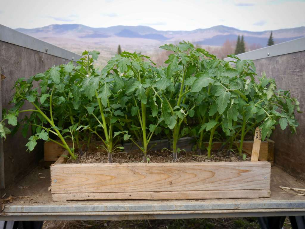 Organic tomatoes ready for transplanting; cultivate joy by growing