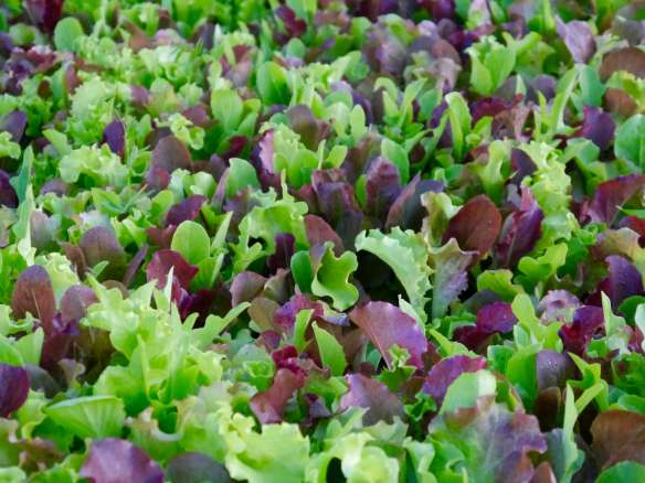 Organic gourmet lettuce mix, ready to be added into mesclun mix
