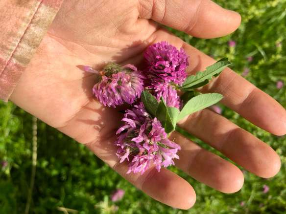 Wild Harvesting Red Clover to make red clover tea