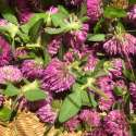 How to Wild Harvest Red Clover & Make Red Clover Tea