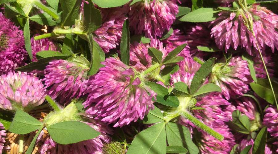 Wild Harvesting Red Clover to make red clover tea