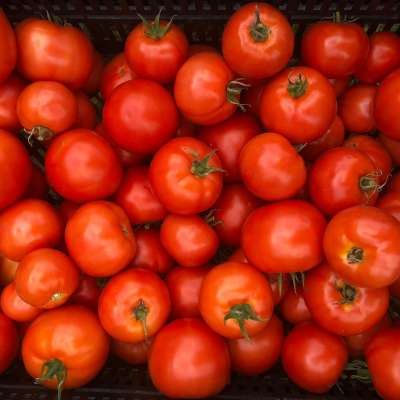organic tomatoes: how to deal with powdery mildew and aphids