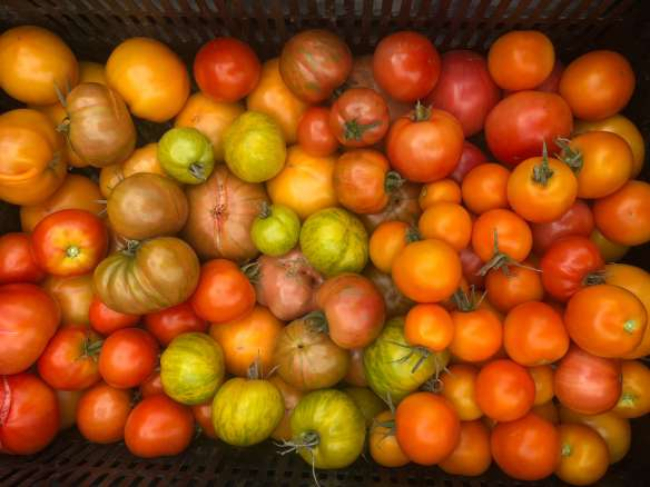 Organic heirloom tomatoes: how to deal with powdery mildew and aphids