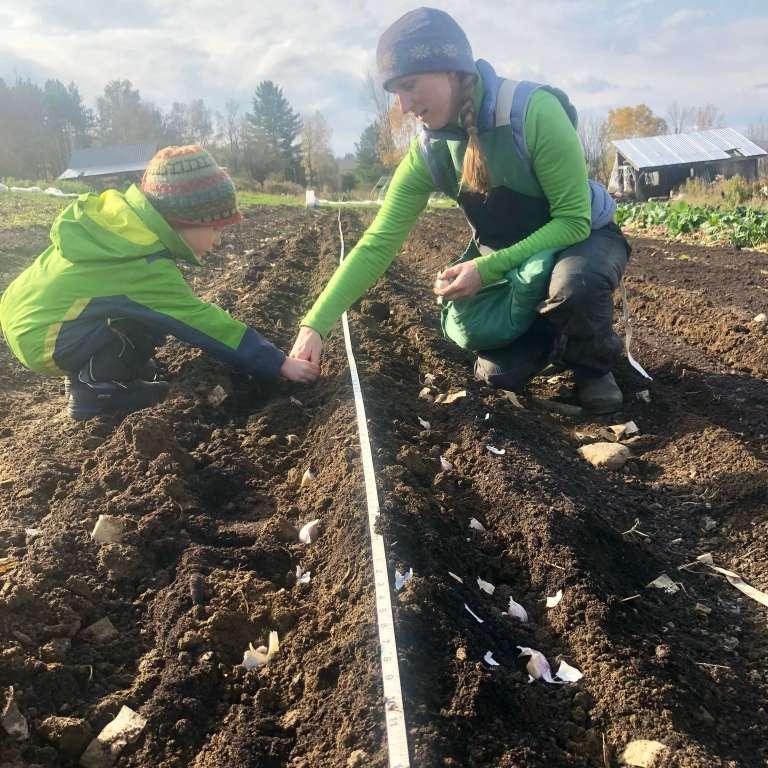 Planting garlic with kids