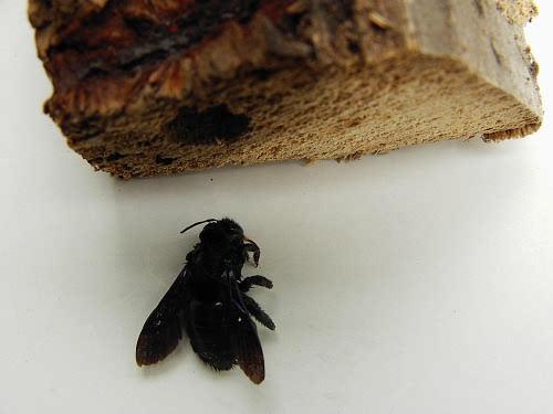 carpenter bees france