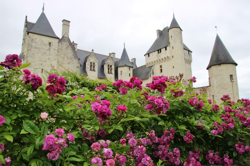 Roses growing in abundance at the foot of the Chateau du Rivau, Loire