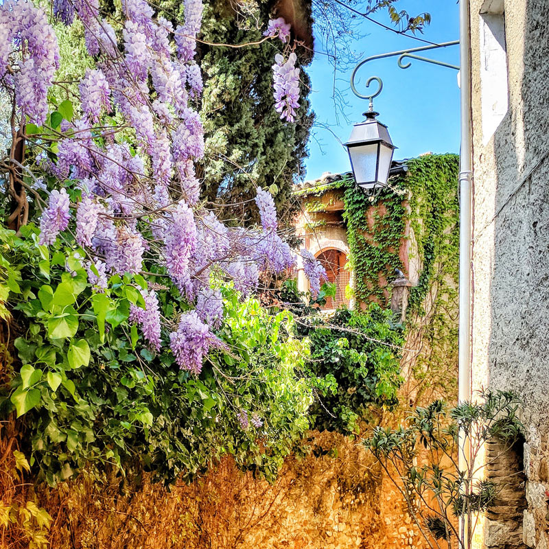 Wisteria growing over a stone wall in spring in Provence