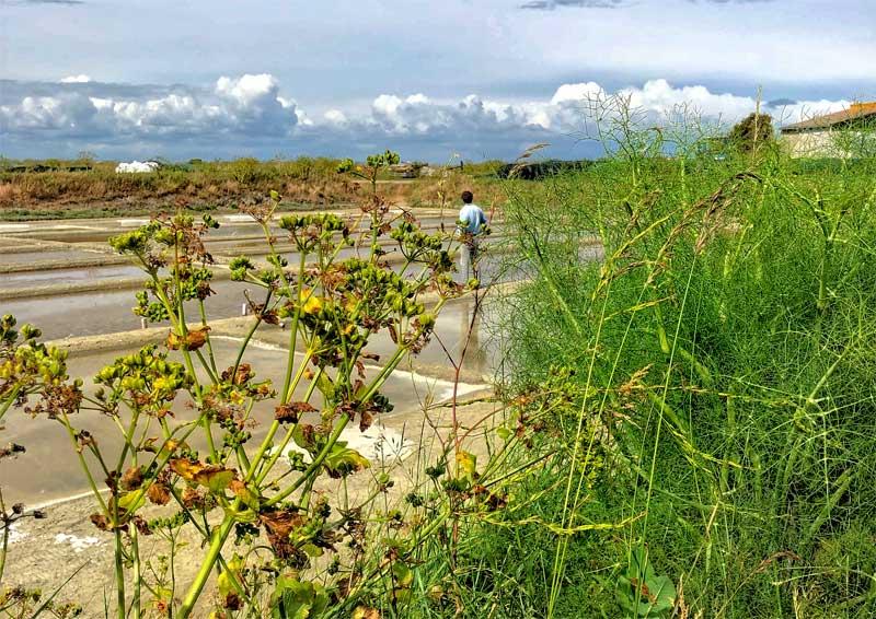 Man stands on a salt marsh surrounded by wild plants, Ile de Re France