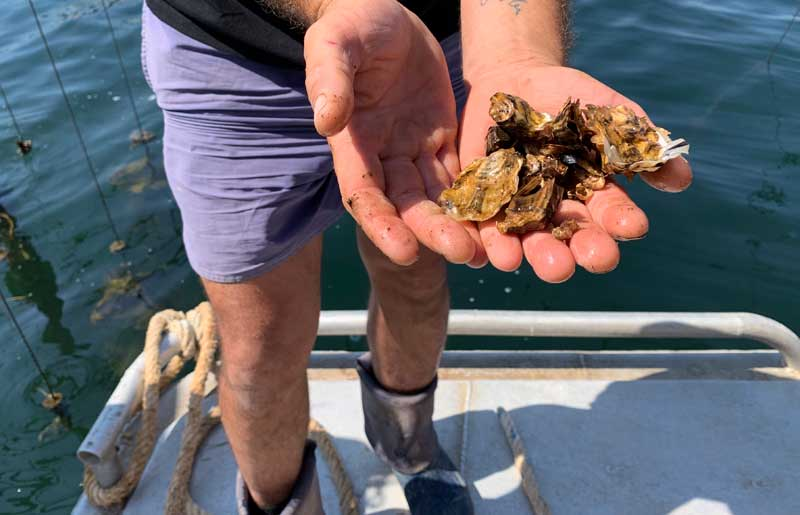 Man holds out oysters in his hands on a boat